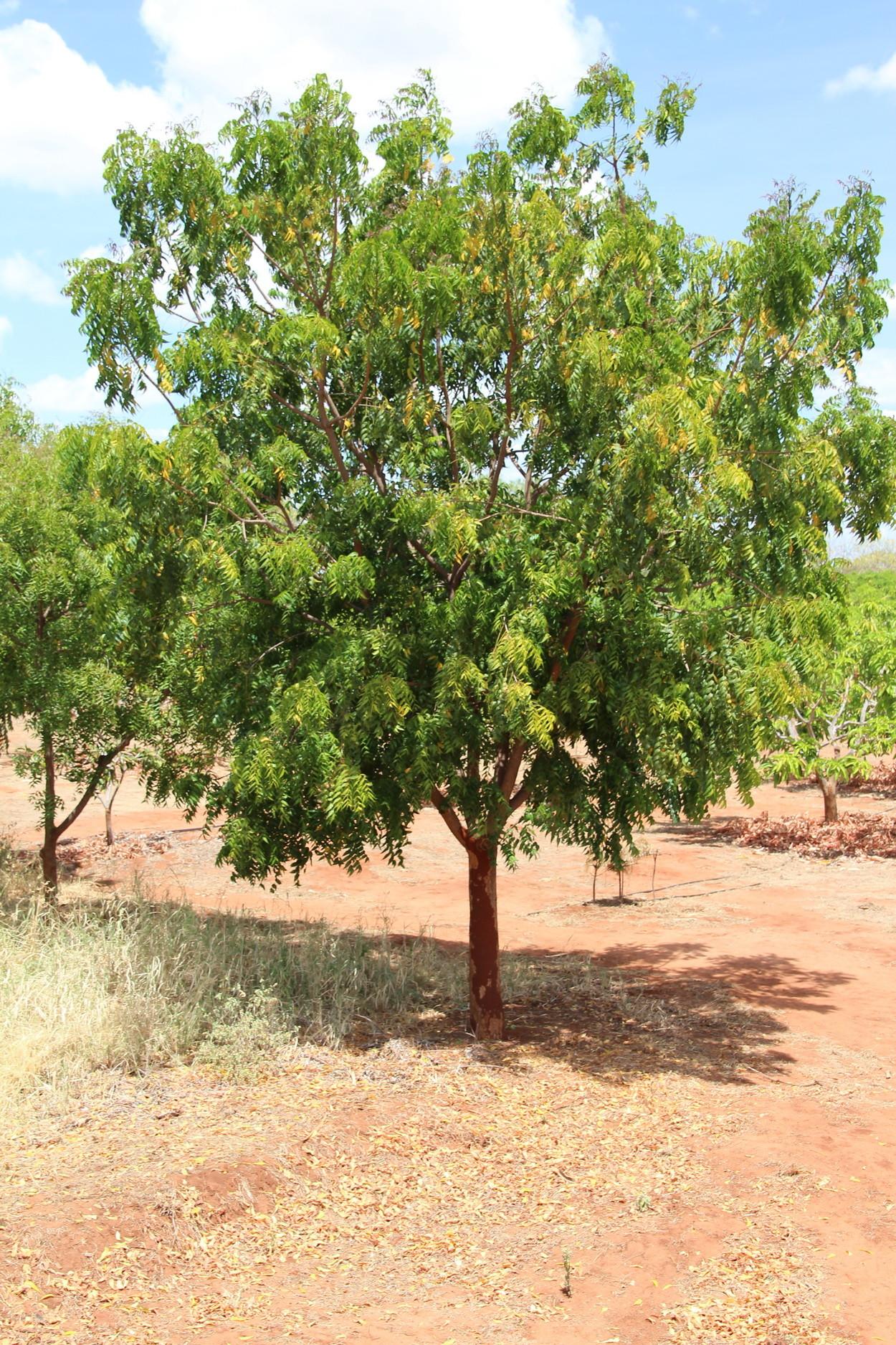 plantagen träd