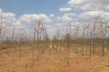 Kiambere-plantagen i augusti 2015