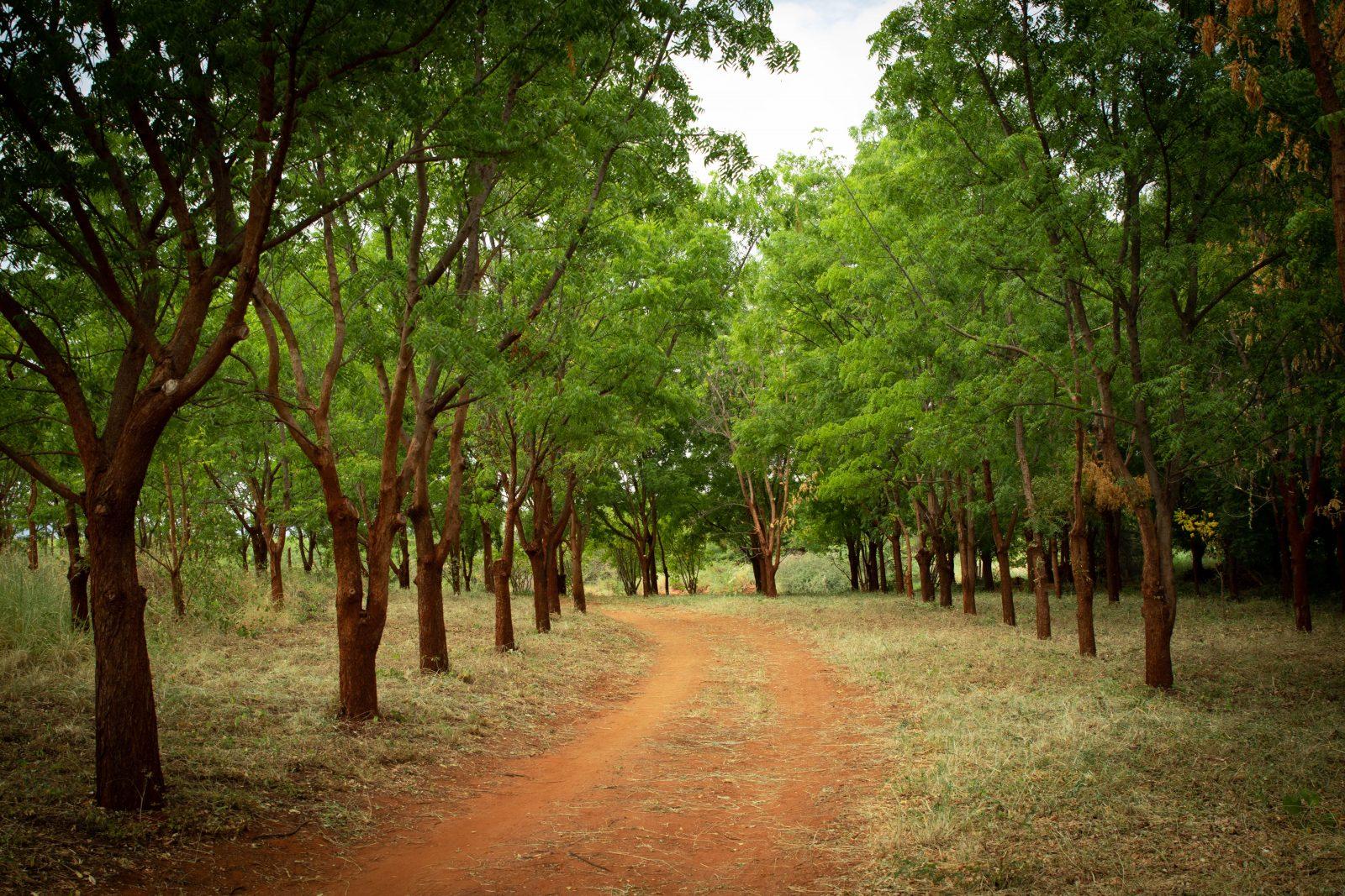 Allé av Neem-träd på väg till kontoret på Kiambere-plantagen