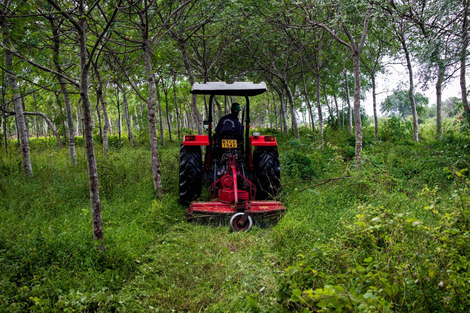 Mekaniserad gräsklippning mellan träden i Nyongoro. Man klipper gräset för att träden ska växa bättre.