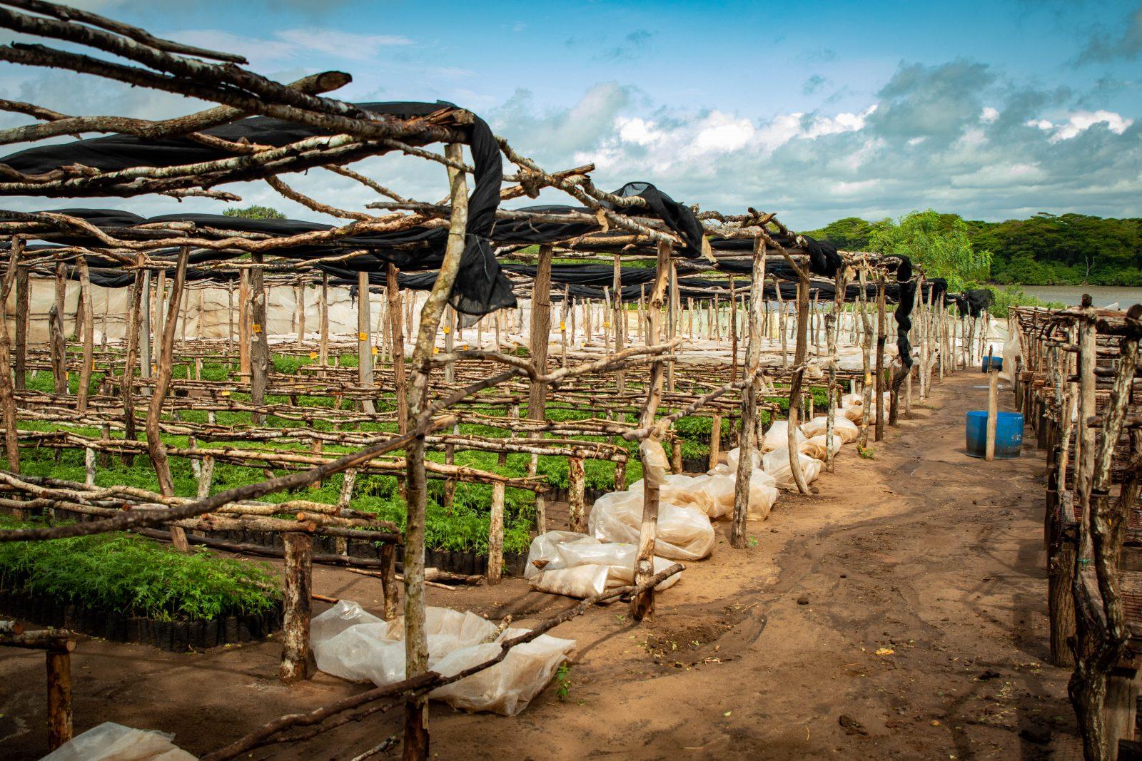 Plantskolan i Nyongoro där man driver upp nya fröplantor som man planterar på plantagen.