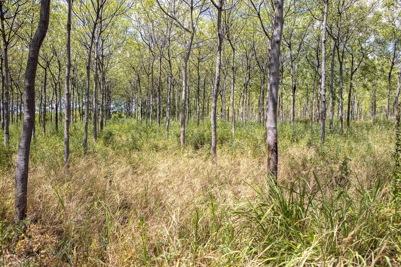 Ett par år gamla Mukau-träd i Kiambere-plantagen