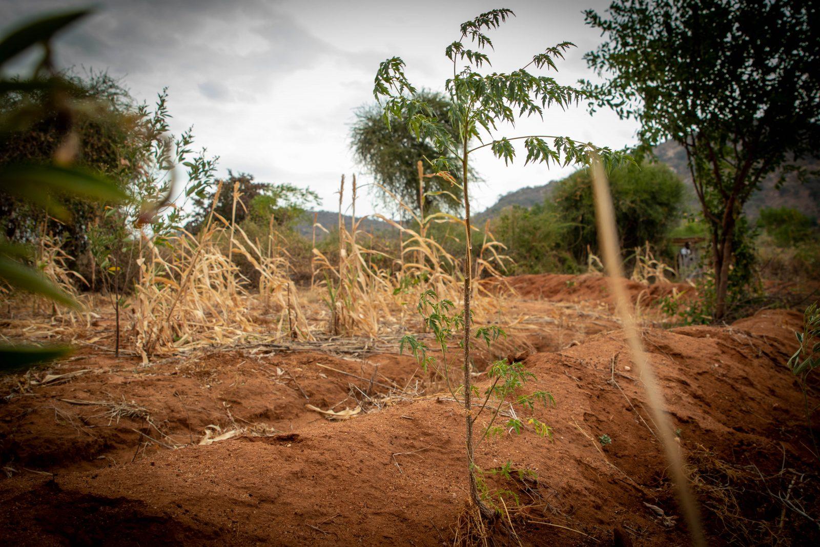 Ett 6 månader gammalt Mukau-träd som är planterat hos en partner-bonde. Notera hur det är planterat bakom vallen som fångar upp vattnet. Det ger bästa förutsättningar för tillväxt.
