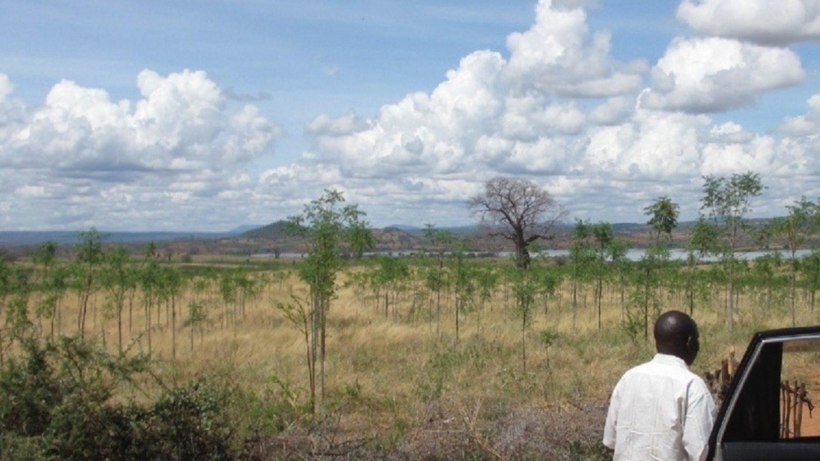 Infarten till Kiambere-plantagen, mars 2013. Mukau-träden är nu 1,5 år gamla.
