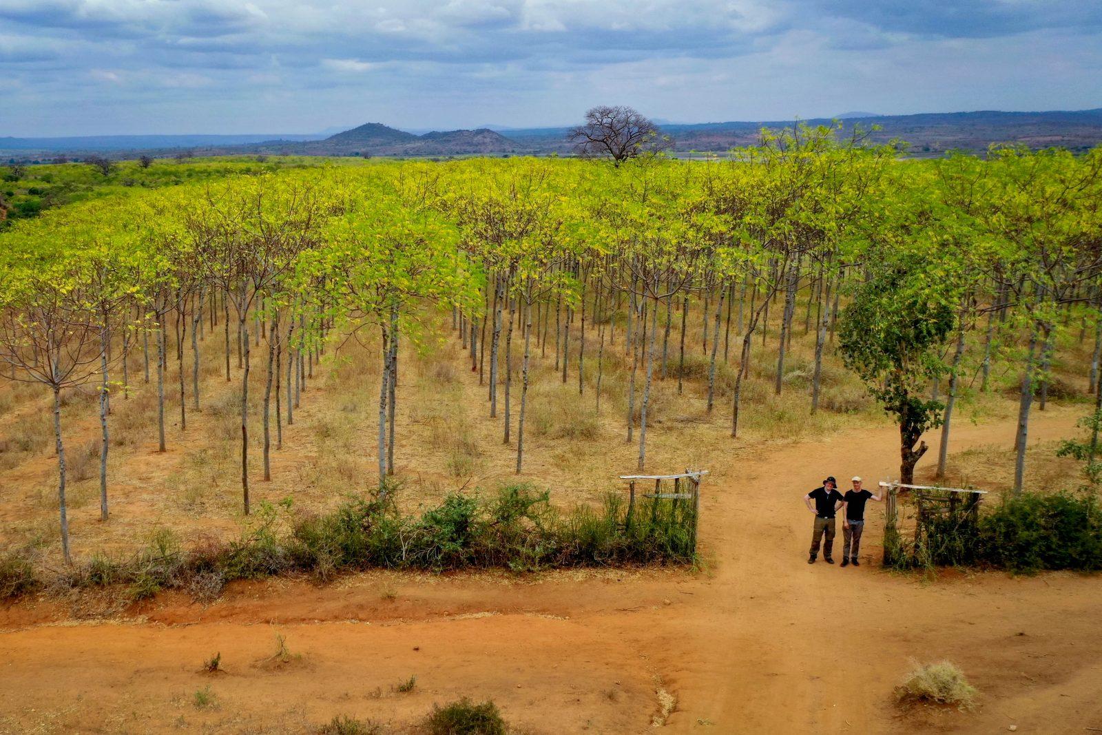 Infarten till Kiambere-plantagen, juni 2019. Mukau-träden är nu ca 8 år gamla.
