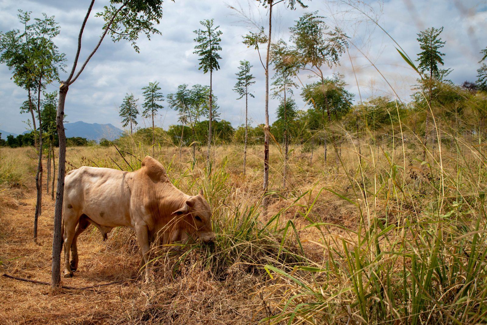 Alla jag intervjuade återkom till vikten av att man låter kor beta gräset mellan träden. Boskapen hade inte överlevt om bönderna inte fått gräs gratis från Better Globe.