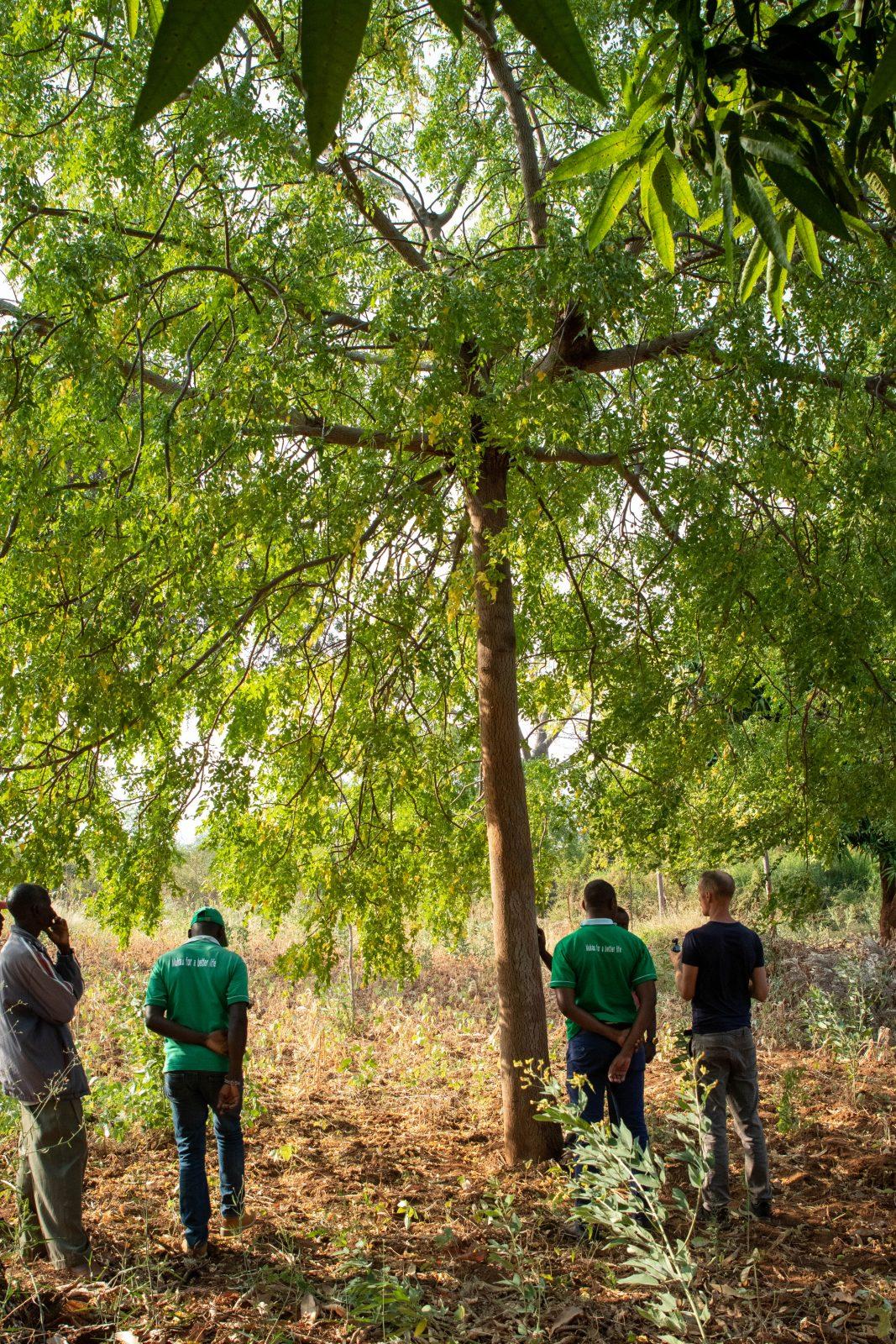 Samma träd som tidigare bild fast den här gången i sin helhet. På partnerbonden Sospeter Musioki Mutisoki gård i Kenya. Bild från juni 2019.
